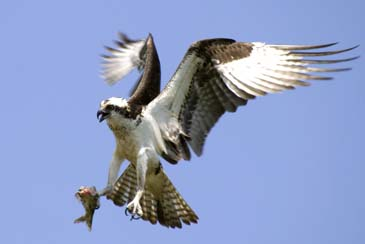 Osprey Returning to Nest - Blackwater Wildlife Refuge - Eastern Maryland
