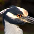 Yellow-crowned Night Heron - Sanibel Island, Florida